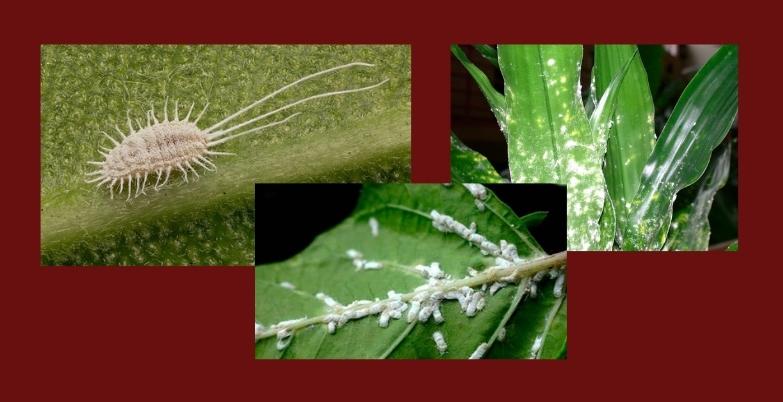 мучнистый червец вредители комнатных растений