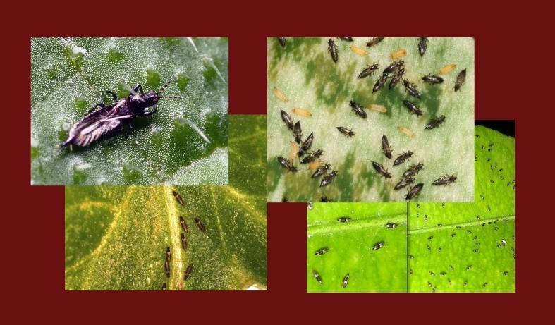 трипсы вредители комнатных растений