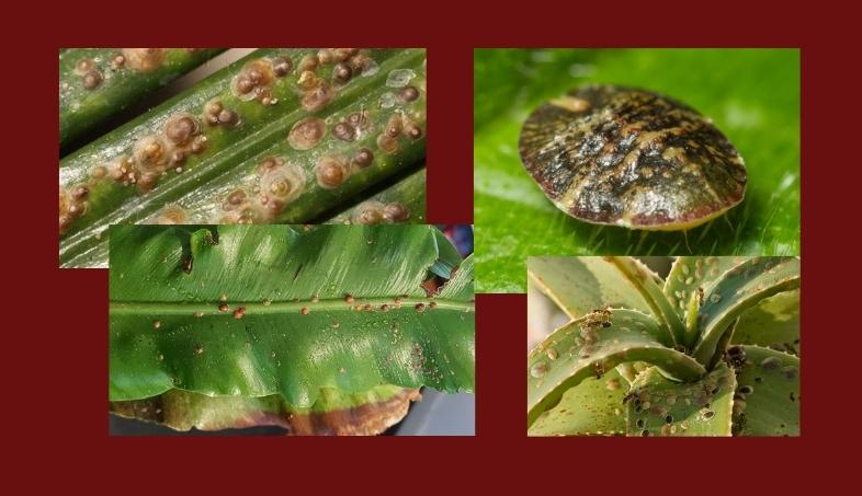 щитовка вредители комнатных растений