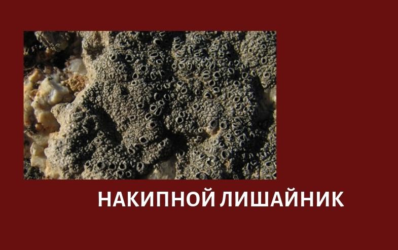 накипной или корковый лишайник
