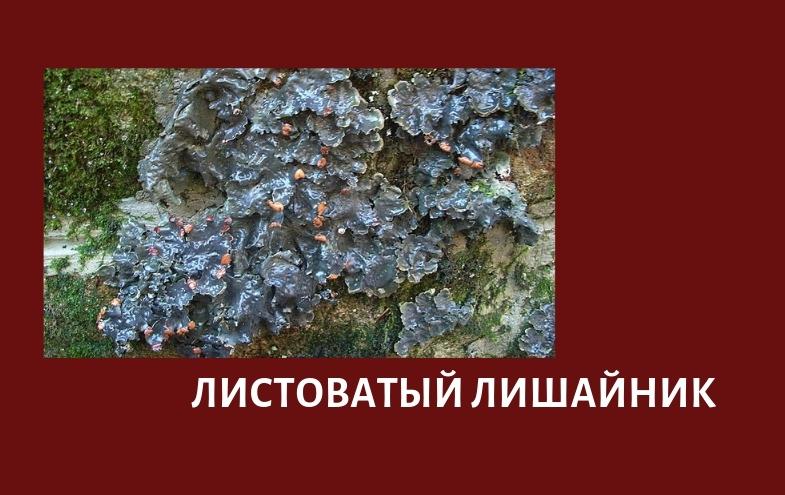 листоватый лишайник