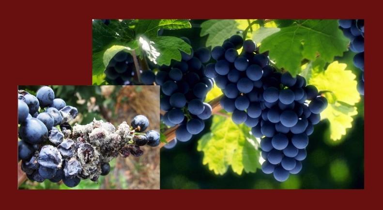 Поражение винограда серой гнилью
