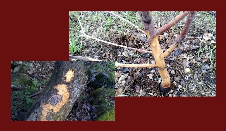 грызуны в саду повреждение деревьев