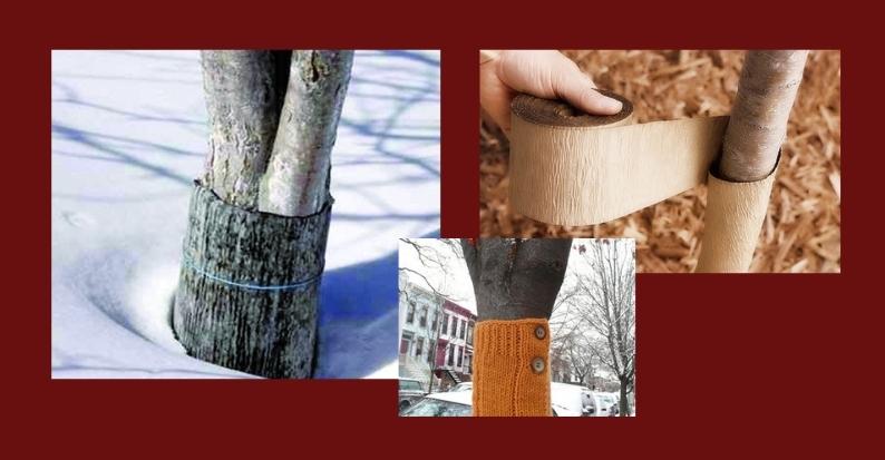 укрытие садовых деревьев на зиму