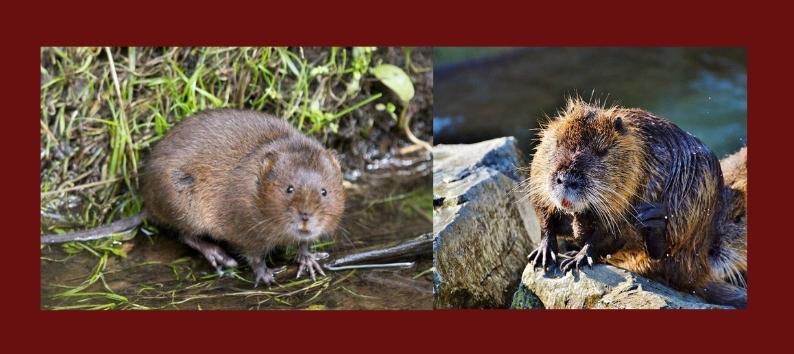 Водяная полевка или (европейская) водяная крыса