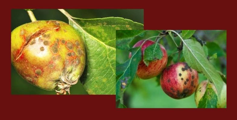 признаки парши на яблоках