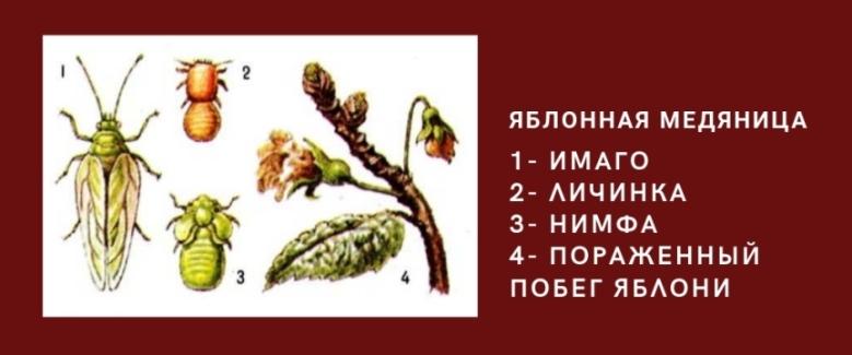 яблонная медяница жизненный цикл