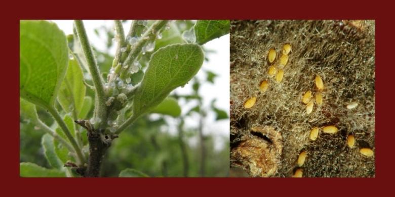 яблонная медяница личинки на листьях и коре деревьев