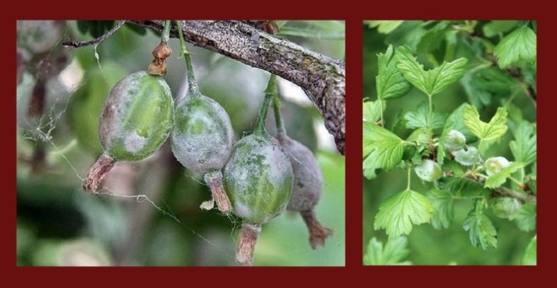 Внешние признаки поражения мучнистой росой ягод крыжовника