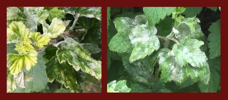 Внешние признаки поражения мучнистой росой листьев смородины