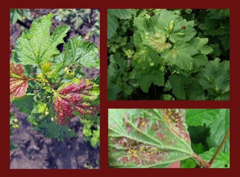 листовая галловая тля галлица смородина