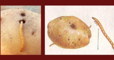 Проволочник коварный враг картофеля