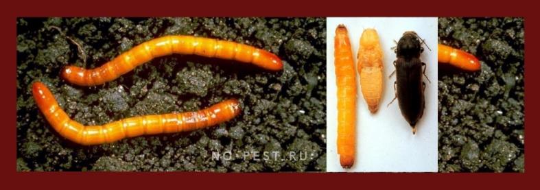 Темный жук - щелкун и его личинка - проволочник