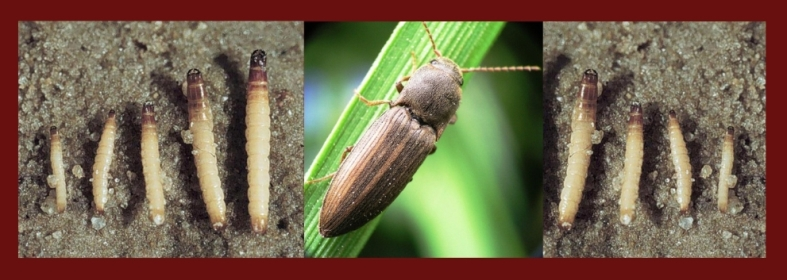 Полосатый жук - щелкун и его личинка - проволочник