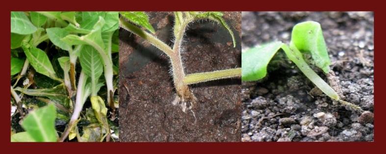 черная ножка плесневые грибы