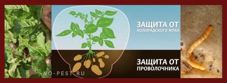 защита картофеля от колорадского жука и проволочника