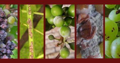 ТОП-6 главных болезней винограда фото и описание