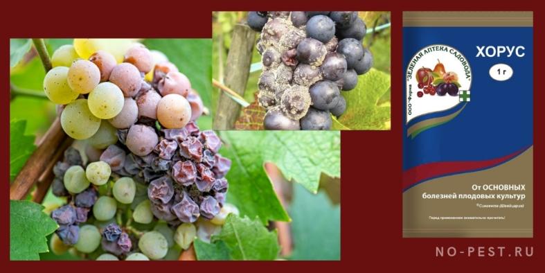 Препарат Хорус - обработка винограда от болезней