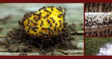избавиться от муравьев народными средствами