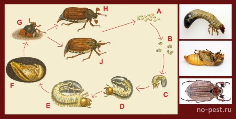 Жизненный цикл майского жука