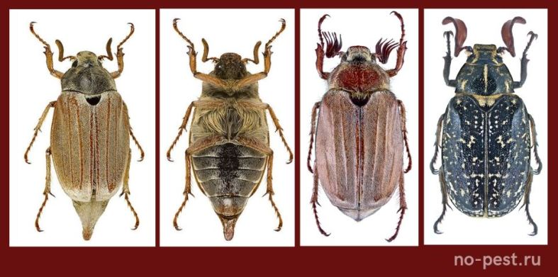 Майский жук (хрущ). Особенности внешнего вида