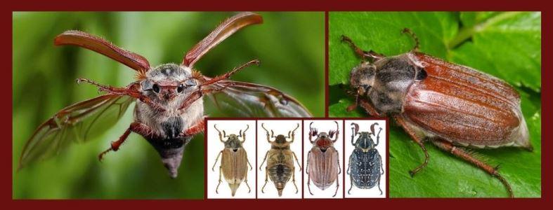 майский жук хрущ виды и описание