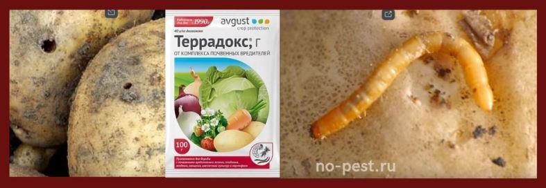 """Защита растений от проволочника препаратом """"Террадокс"""""""