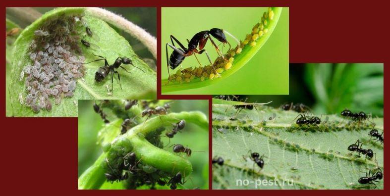 Разведение муравьями тли и других насекомых - вредителей