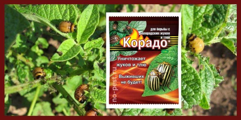 """Обработка картофеля от колорадского жука инсектицидом """"Корадо"""""""