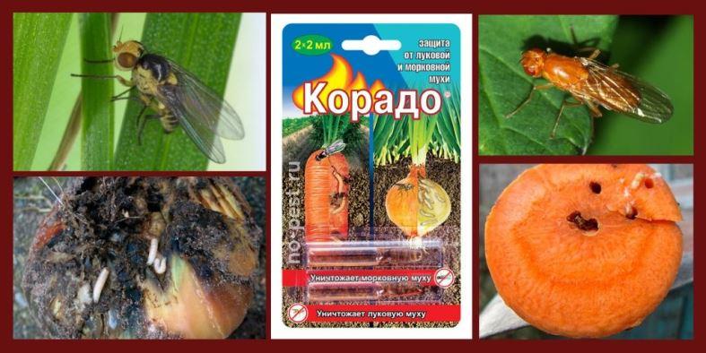 """Обработка инсектицидом """"Корадо"""" от луковой и морковной мухи"""
