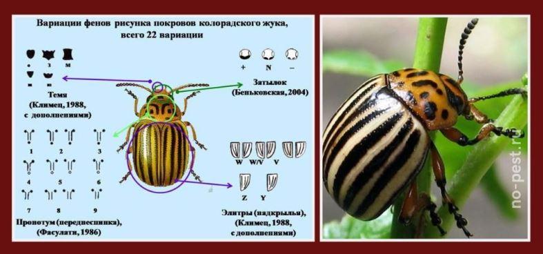 Особенности внешнего вида колорадского жука