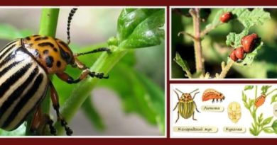 Колорадский жук общая характеристика (систематика, распространение, особенности развития и жизненный цикл)