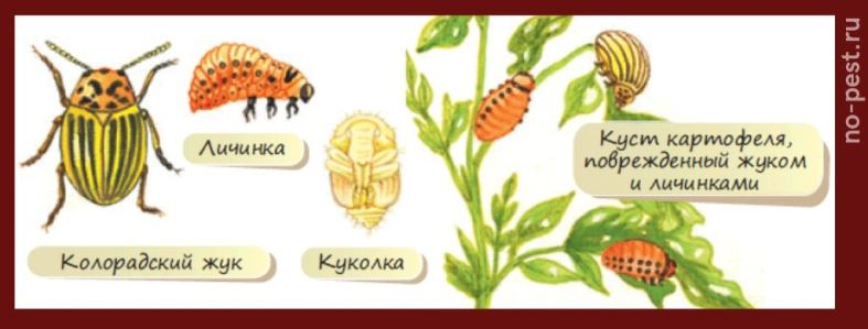 Колорадский жук- жизненный цикл