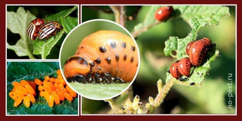Личинки и яйца колорадского жука