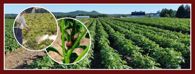 Избавиться от колорадского жука - средства и методы
