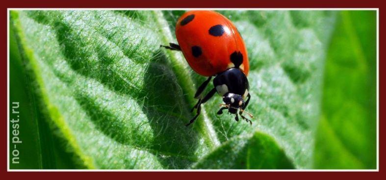Божья коровка - природный враг колорадского жука