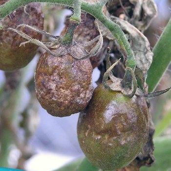 Фитофтороз (фитофтора) томата
