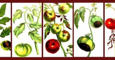 ТОП-10 главных болезней томата