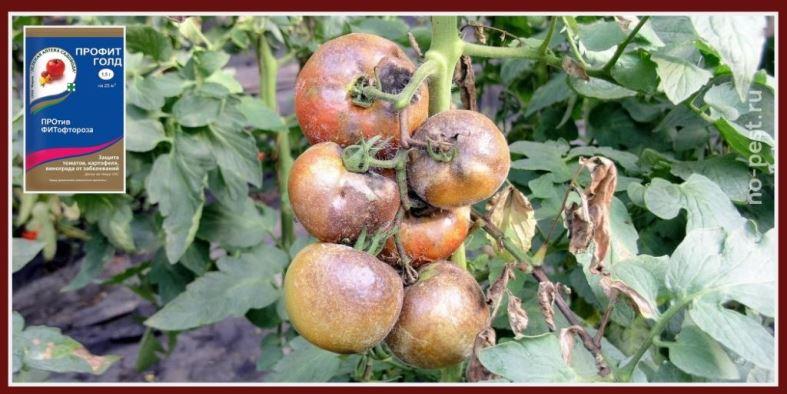 """Обработка томатов от фитофтороза фунгицидом """"Профит Голд"""""""