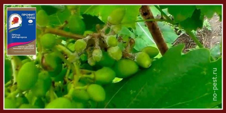 Обработка винограда от мильдью