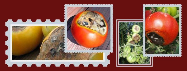 вершинная гниль томатов - причины, симптомы и лечение