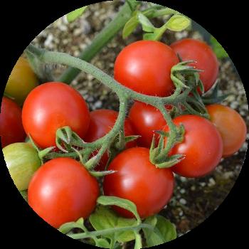 томат на грядке