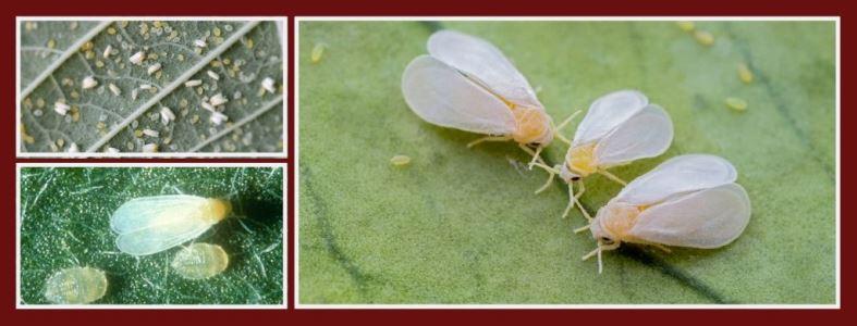 Белокрылка -виды, признаки поражения, факторы риска и меры защиты