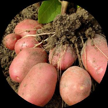 картофель с грядки