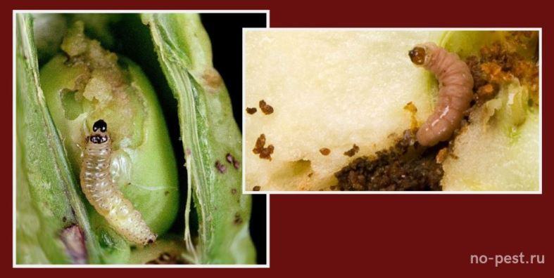 Гусеницы плодожорки - гороховой (слева) и яблоневой (справа)