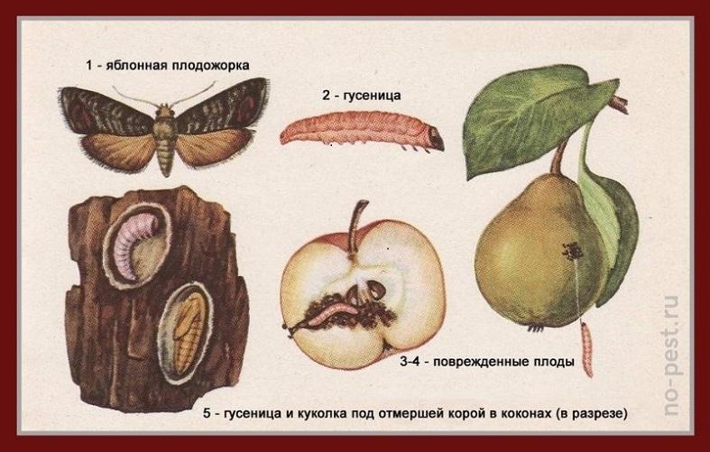 Яблонная плодожорка. Жизненный цикл