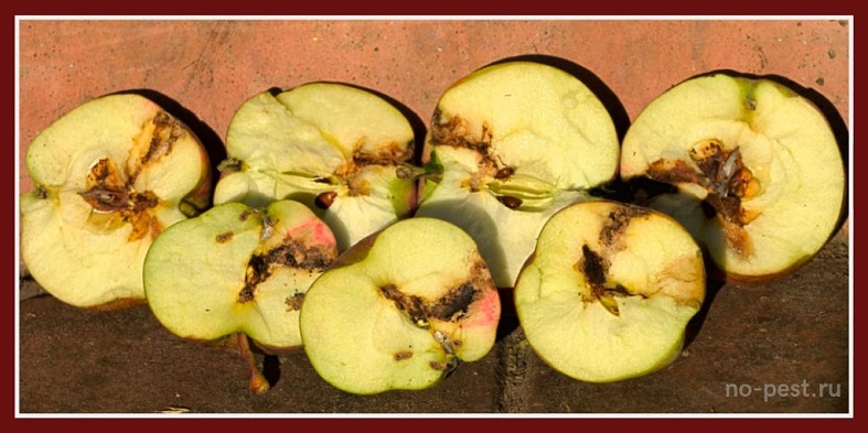 Признаки повреждения плодов яблонной плодожоркой