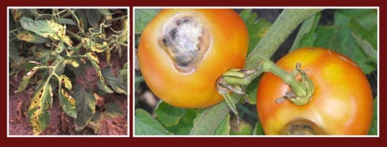 Альтернариоз (сухая пятнистость) томата - причины, симптомы и меры защиты