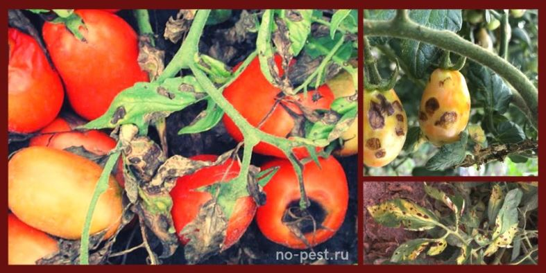 Внешние признаки повреждения плодов томата при альтернариозе