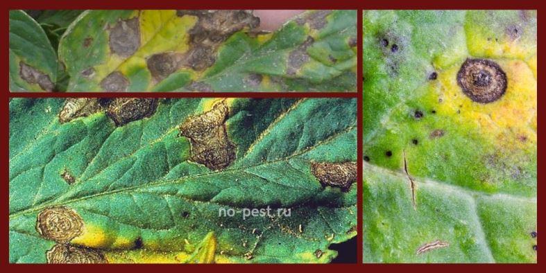 Пятнистость при альтернариозе на листочках томата